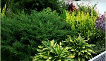 Хоста для создания лесного уголка — в сочетании с папоротниками, можжевельниками, морозниками, копытнями