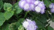 Агератум - посадка и уход за цветком. Лучшие сорта