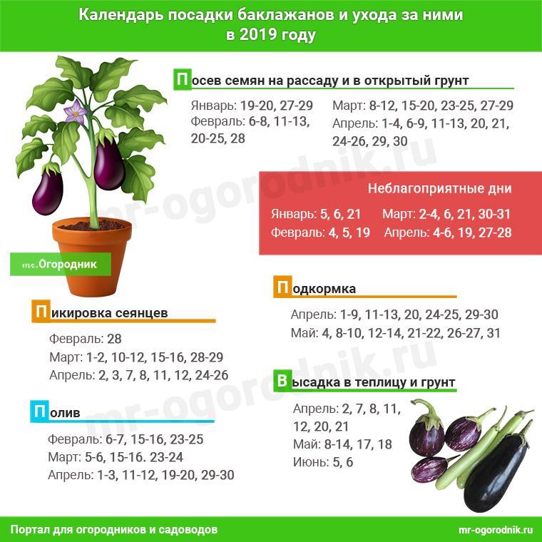 Инфографика: Календарь посадки баклажанов на рассаду 2019 и ухода за ними