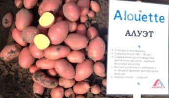 Картофель Алуэт