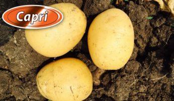 Картофель Капри