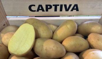 Картофель Каптива