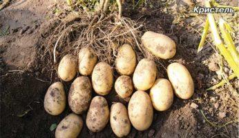 Картофель Кристель