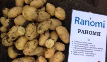 Картофель Раноми