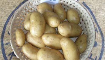 Картофель Сандрин