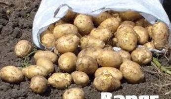 Картофель Варяг