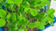 Когда и как сажать горох весной - рекомендации по выращиванию культуры
