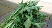 Опыт читательницы: Как приготовить инсектицидный настой и жидкое удобрение из одуванчиков