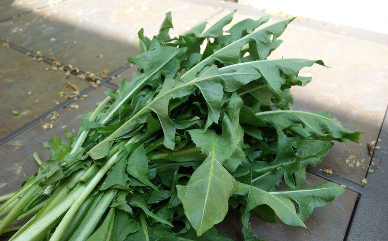 Листья одуванчика для подкормки