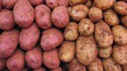 Новые сорта картофеля на 2018-2019 годы