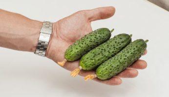 Огурцы Шоша Ф1 на руке