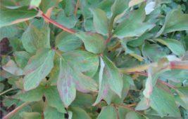 Почему краснеют листья пиона