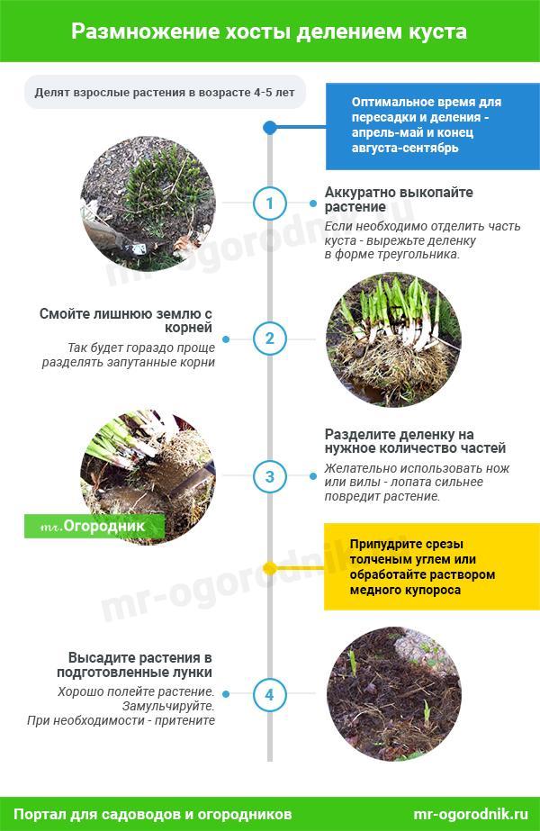 Инфографика: Размножение хосты делением