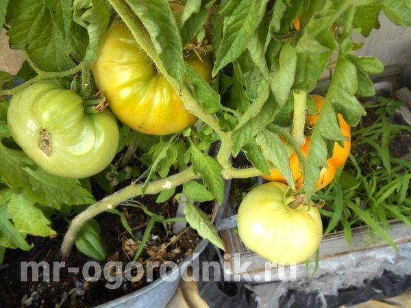 Созревающие томаты