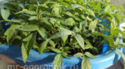 В чем замачивать семена помидоров перед посадкой