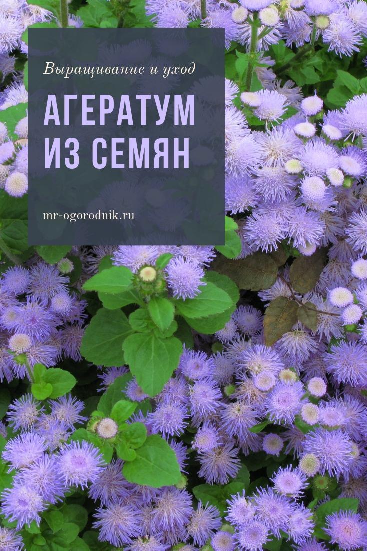 Рекомендации по выращиванию агератума из семян в домашних условиях