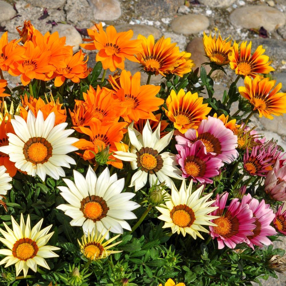 цветы однолетники цветущие все лето картинки отец патрика был