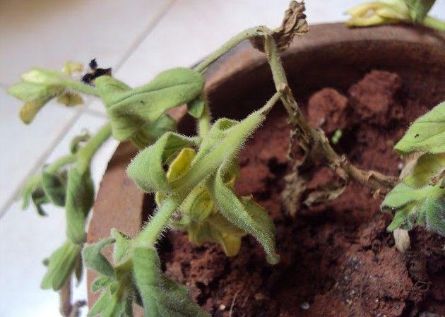 Избыточный полив петунии