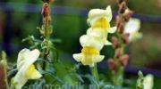 Как сажать львиный зев семенами на рассаду и как ухаживать за цветком