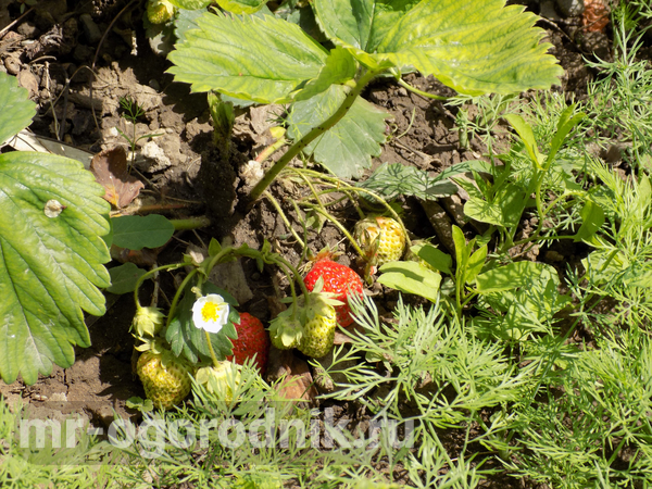Начало плодоношения клубники