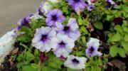 Когда цветет петуния и почему могут быть проблемы с цветением