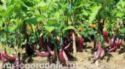 Эффективные схемы подкормки баклажанов для роста и обильного плодоношения