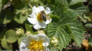 Корневая и внекорневая подкормка клубники во время цветения и плодоношения