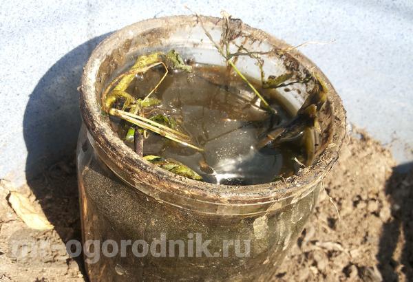 Подкормка крапивой клубники