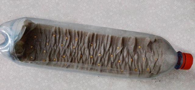Посев семян на туалетную бумагу в бутылке