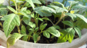 Рекомендации по выращиванию рассады помидор в домашних условиях