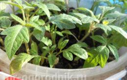 Выращивание рассады помидор в домашних условиях