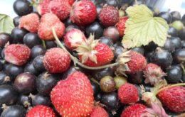 Урожай клубники и смородины