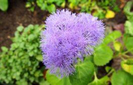 Выращивание агератума из семян