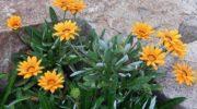 Рекомендации по выращиванию гацании из семян в домашних условиях