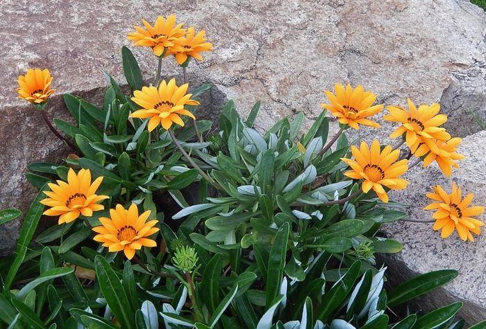 Выращивание гацании из семян