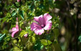 Выращивание лаватеры из семян