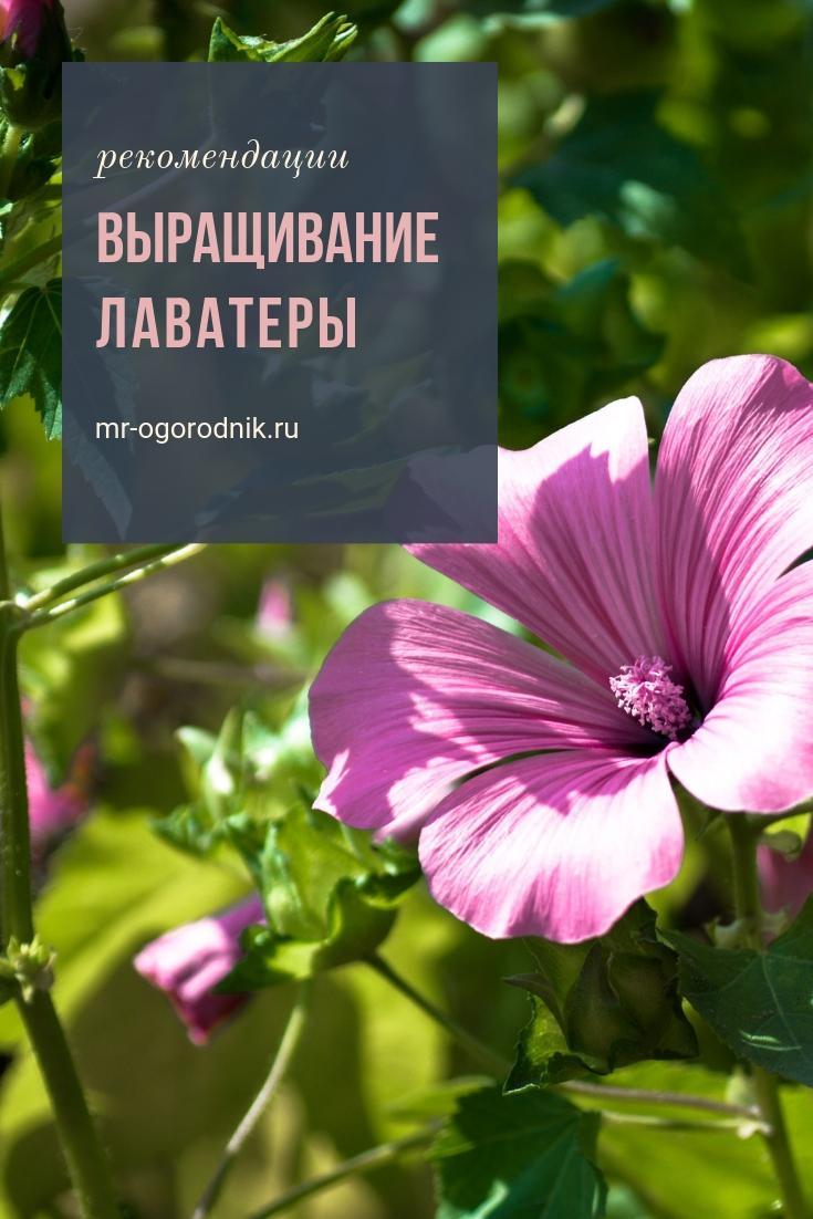 Рекомендации по выращиванию лаватеры из семян