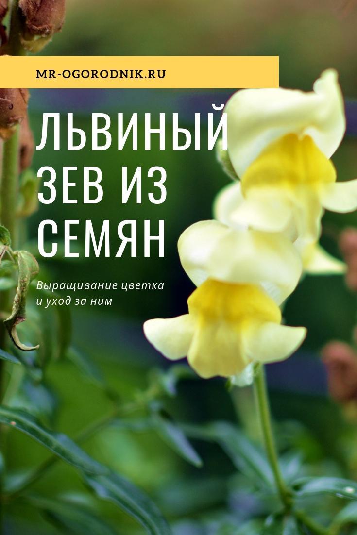 Рекомендации по выращиваию львиного зева из семян