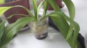 Как размножить юкку черенкованием