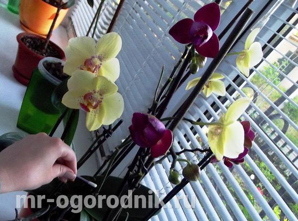 Обработка почки орхидеи пастой