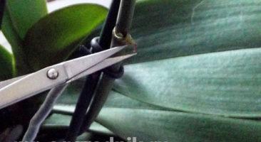 Освобождаем почку фаленопсиса от верхнего слоя
