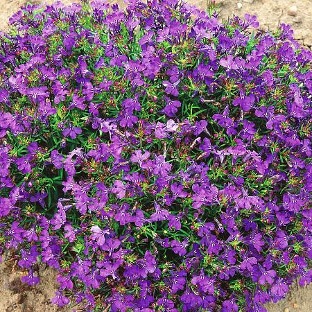 Лобелия Фиолетовый дворец