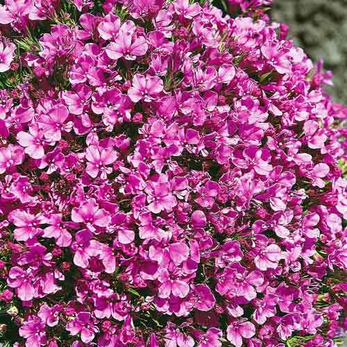 Лобелия Ривьера розовая