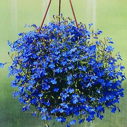 Лобелия Ривьера синяя