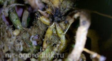 Корневая система второй орхидеи