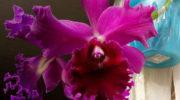 Секреты цветения каттлеи Chia Lin. Изучаем родословную