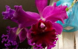 Секреты цветения гибридной каттлеи Чиа Лин