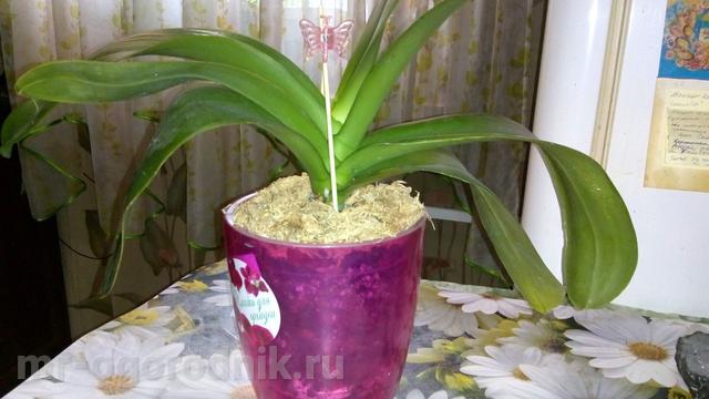 Орхидея фаленопсис после омолаживающей пересадки