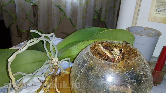 Верхняя часть орхидеи