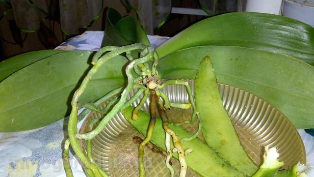 Снятый с орхидеи лист